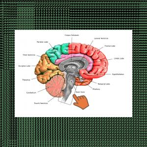 moždano deblo