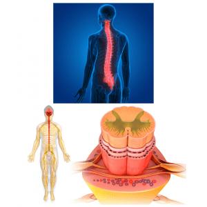 leđna moždina